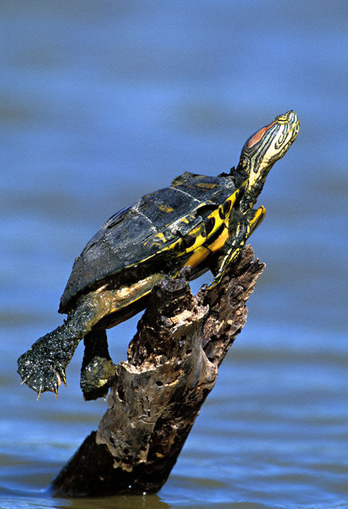 Caring for your Red-Eared Slider Discussions with Zharphyn